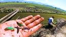 Incríveis PEIXES BETTAS SELVAGENS capturados no VALÃO no BRASIL- Em Busca dos PEIXES ORNAMENTAIS 4