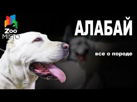 Алабай Все о породе собаки Собака породы Алабай