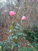 Декабрь к концу подходит, А у меня в саду цветут розы.
