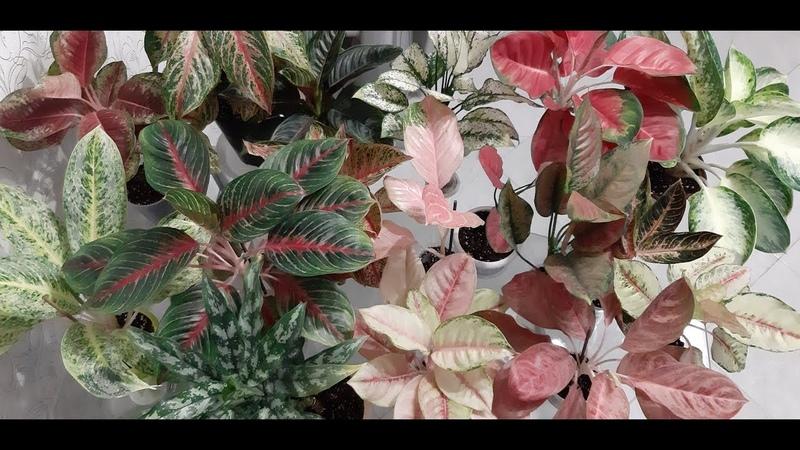 АГЛАОНЕМА Обзор моей коллекции из 25 редких сортовых аглаонем на канале Цветочная фея