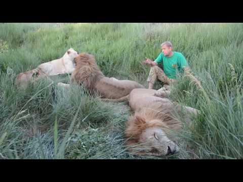 В Саванне среди львов может случиться всякое КУРЬЕЗНЫЕ СЛУЧАИ Anything may happen in Savanna