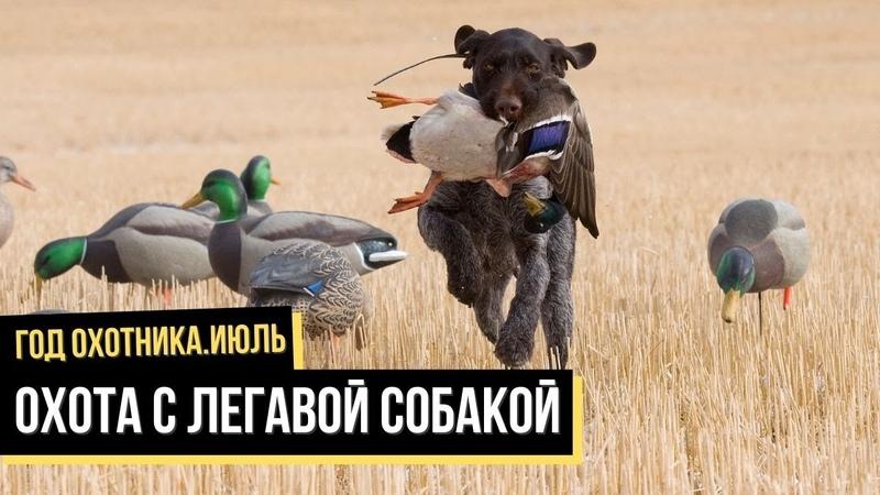 Охота с легавой собакой Июль Год охотника 4
