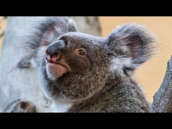 Gerettete Koalas werden in Freiheit entlassen