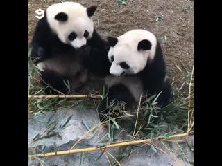 Веселые панды! ツ