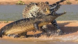 """Ягуар напал на огромного крокодила! Самые эпичные битвы диких животных """"за 5 минут"""""""