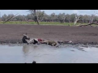 Зебре остается только наблюдать за тем, как ее поедают крокодилы.