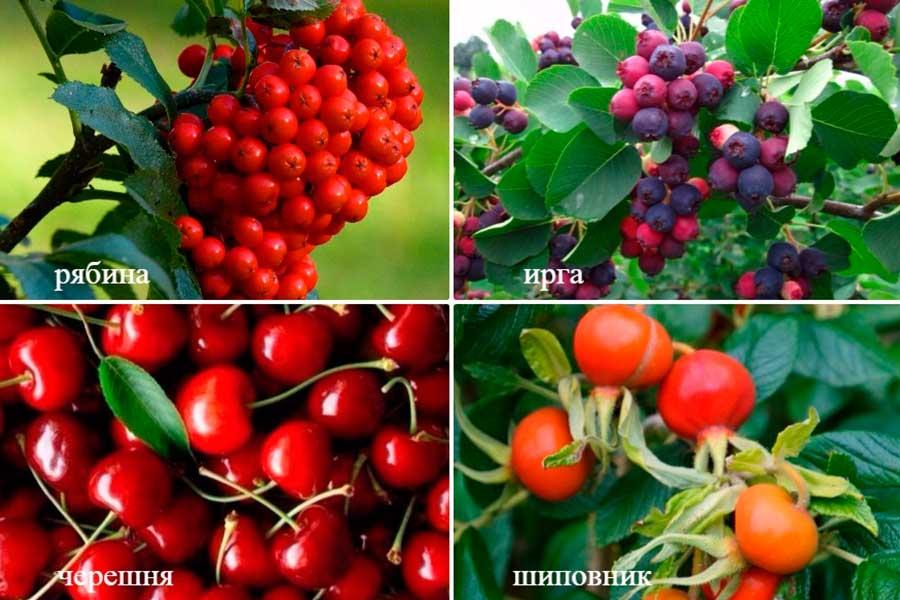 ягодные культуры сада с целебными свойствами