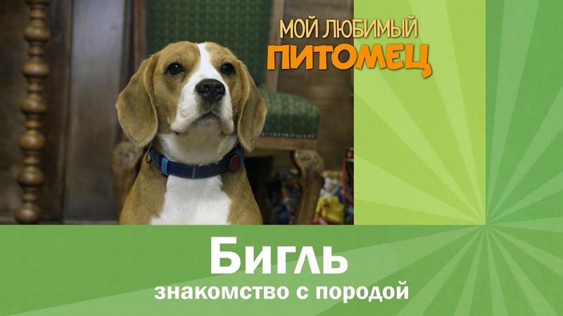 БИГЛЬ характеристика породы плюсы и минусы советы при выборе щенка
