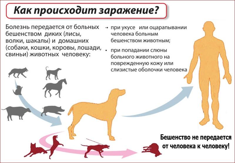 как передается бешенство у животных