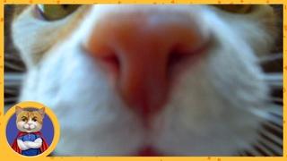 Утренний Рыжик. Ужасная тайна о происхождении Рыжика. Как узнать породу вашего кота