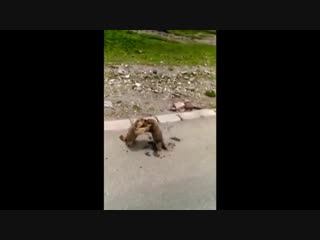 Сурки сцепились на обочине дороги и яростно тузили друг друга