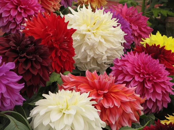 9 ОСОБЕННОСТЕЙ ВЫРАЩИВАНИЯ ГЕОРГИН 1. Георгины относительно не требовательная в уходе культура, отличающаяся красивым и пышным цветением, а также разнообразием оттенков. В сравнении с другими