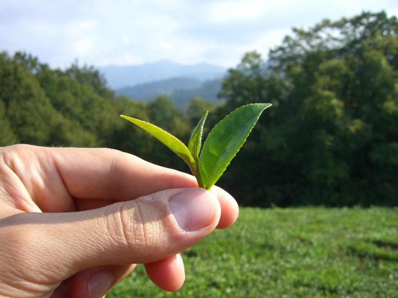 чай картинки как растет чай гардеробе малышей взрослых