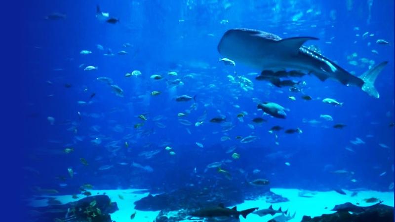 Beautiful HD Aquarium Video Georgia Aquarium Ocean Voyager I