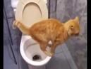 смех и слезыкот срет в унитаз/laughter and tearscat shit in the toilet ПОПРОБУЙ НЕ СМЕХ!😋😋😋😋