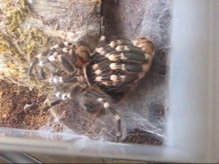 A.geniculata (giant white knee) time lapse molt