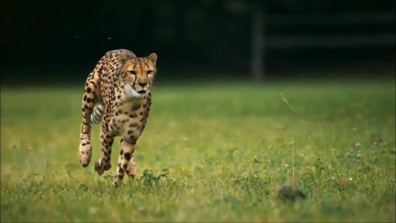 Бег гепарда в замедленной съёмке 720p
