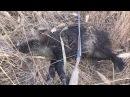 Охота с русскими пегими гончими на кабана январь 2015