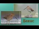 Пение птиц. Бекас (Gallinago gallinago).