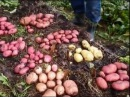 Выращивание картофеля в соломе Growing potatoes in straw Patatas bajo la paja
