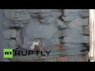 Россия: Домашние животные кошка принимает ребенка рысь отвергнут своей матерью.