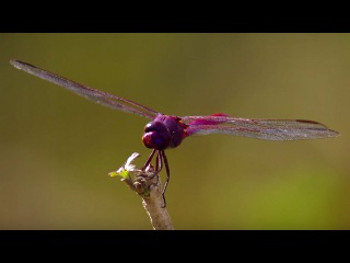 How Do Dragonflies See The World - Animal Super Senses - BBC