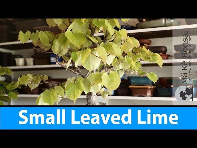 125 Small Leaved Lime Tilia cordata European Bonsai Species