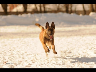 Собака, которая умнее многих в сто раз