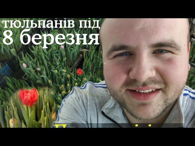 Перше цвітіння тюльпанів Що буває при надмірному рості тюльпанів Первое цвет