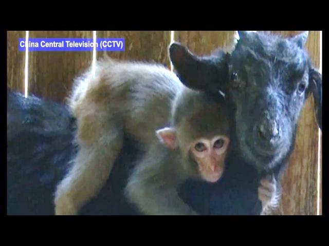 объективы, которые картинки баран и обезьяна хочу