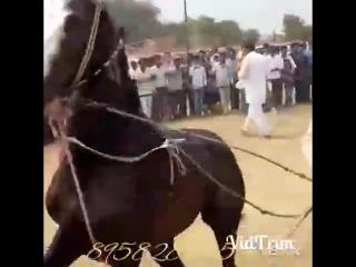 Танцующий конь.