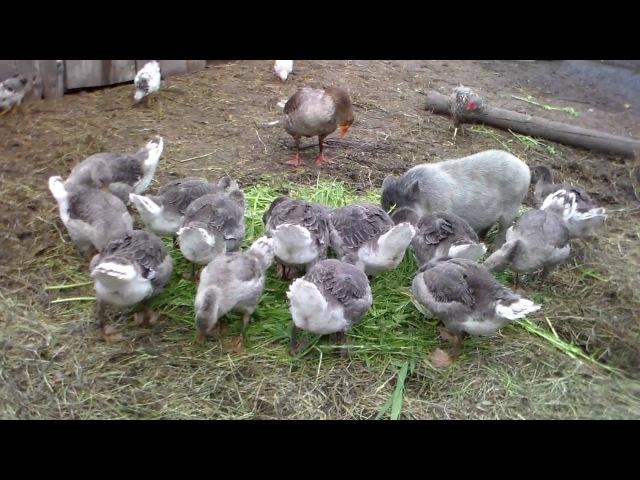 Немного о разведение кормлении и содержании серых гусей