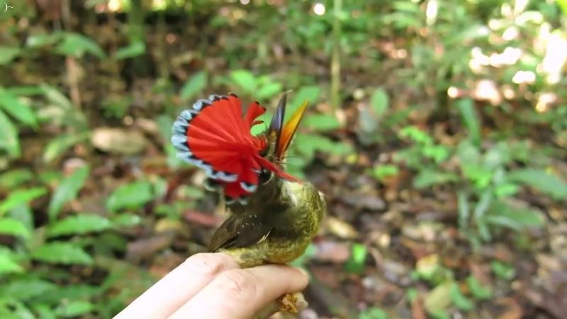 Амазонский венценосный мухоед 03