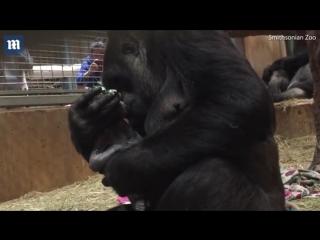 Трогательный момент, когда мама-горилла целует своего новорожденного малыша.