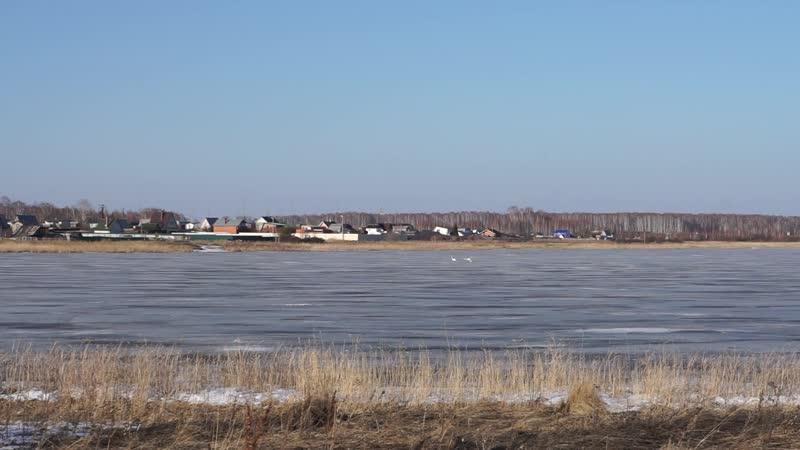 Лебеди на озере Мисяш 7 апреля 2019