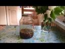 Сироп из цветов Одуванчика на меду и чай из ферментированных листьев Одуванчика.