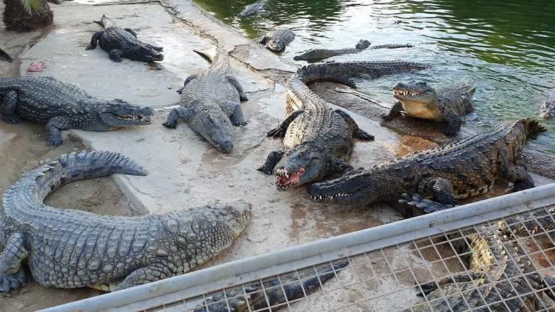 06.10.19г.Просто кормят нильских крокодилов Тунис, остров Джерба