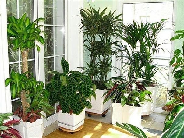 Для гармонии и счастья Все вышеперечисленные растения имеют положительную энергетику, создают благоприятную домашнюю атмосферу. Особенно следует отметить: Спатифиллум; Узамбарская фиалка; Мирт;