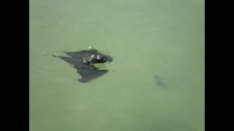 Плавающая летучая мышь