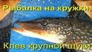 Рыбалка на кружки. Клев крупной щуки
