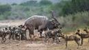 Đoàn Quân Mông Cổ chó hoang khét tiếng đi tới đâu sinh vật lầm than đến đấy - Vua Sư Tử chỉ là muỗi