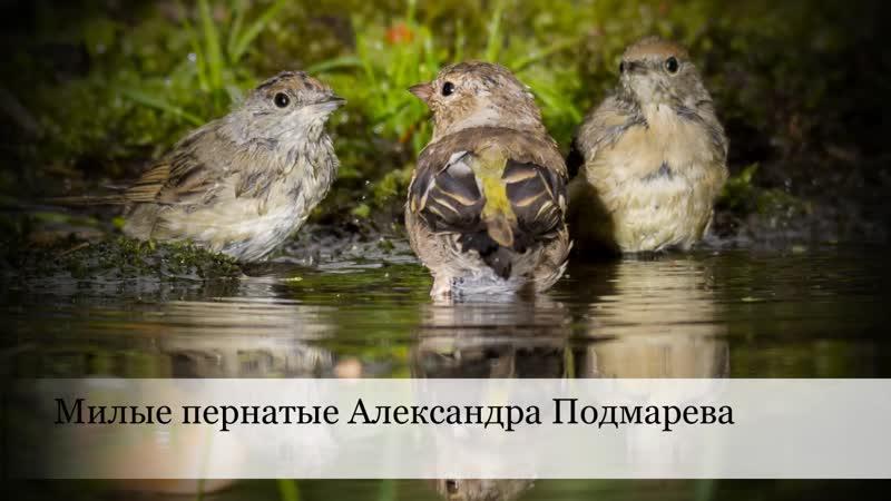 Милые пернатые Александра Подмарева