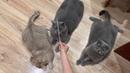 Сёмчик,Нюша и наш Лысик Приколы про котов до слез – Funny Cats 2019