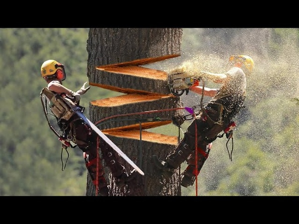 Huge Cedar Trees Felling Climbing with Chainsaw Machines Dangerous Tree cutting down skills