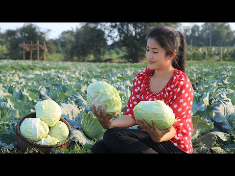 Harvest Cabbages For My Recipe Pickled Cabbages With Grilled Fish By Countryside Life TV.