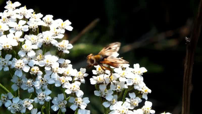 Фазия пёстрая танцует на цветках тысячелистника в поисках нектара.
