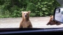Bears on the road Медведи на дороге АвтоСтрасть