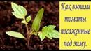 Как взошли томаты посаженные под зиму. Первые всходы. Сад и огород выпуск 220