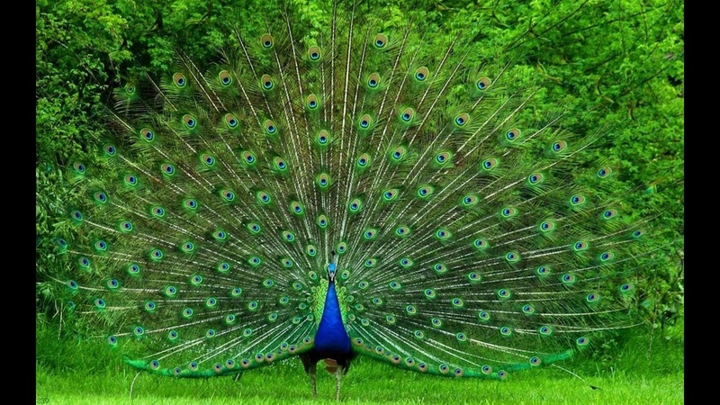 Beautiful Peacock Dance with natural sound Pets Planet