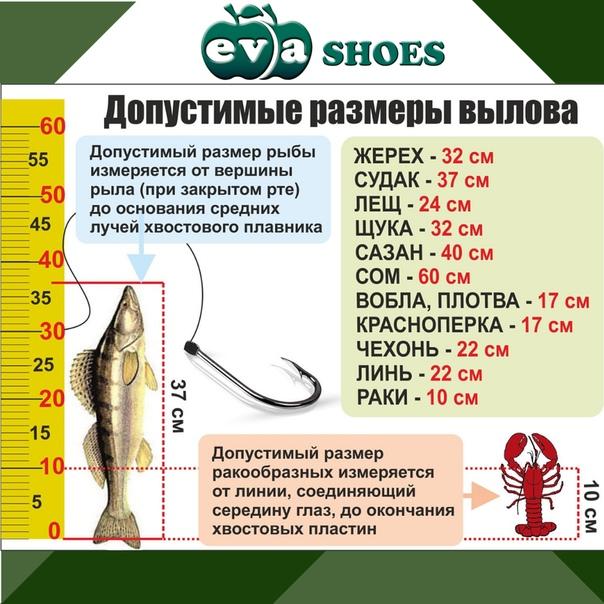 Размеры рыбы разрешенные для ловли